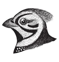 Massena quail vintage vector