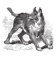 Caracal or Lynx vintage engraving vector image vector image
