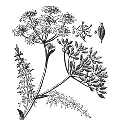Caraway vintage engraving vector