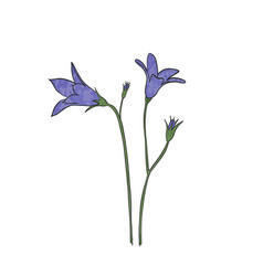 hand drawn bluebell flower vector image