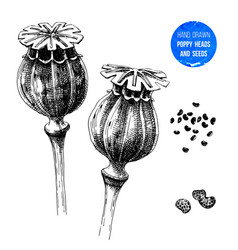 Hand drawn poppy heads and seeds vector