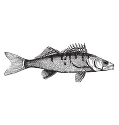 Pike perch vintage vector