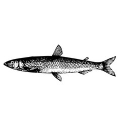 Old engraving of a european smelt fish or osmerus vector