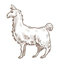 Llama animal standing side view hand drawn sketch vector