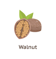the fruit of the plant is a hard-shelled nut with vector image