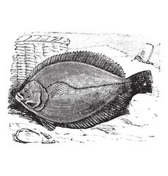 Flounder vintage engraving vector image