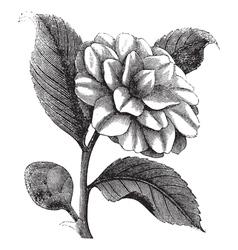 Winter rose vintage engraving vector