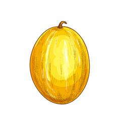 Muskmelon whole melon isolated fruit sketch vector