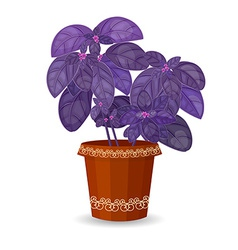 Purple basil herb in a flower pot vector