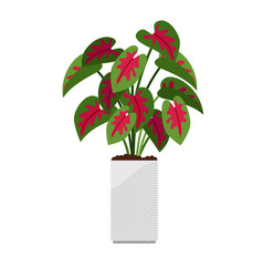 caladium house plant in flower pot vector image vector image