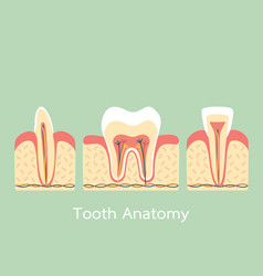Group of tooth vector