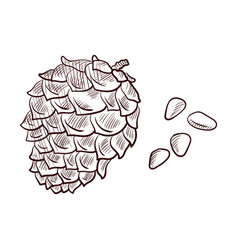 Drawing pine nuts and cone vector