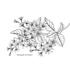 Sandpaper vine flower and leaf hand drawn vector