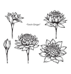 Hand drawn torch ginger flower with line art vector
