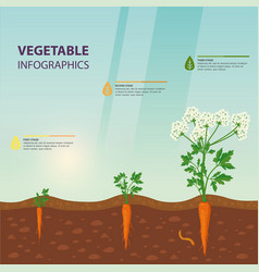 Infographic for carrot growing stages vector