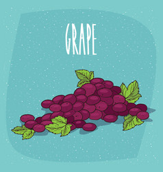 Isolated bunch of grapes or part of vine vector