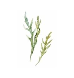 Watercolor arugula herbs vector