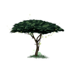 african acacia tree from a splash watercolor vector image