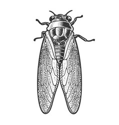 Cicadidae insect sketch vector