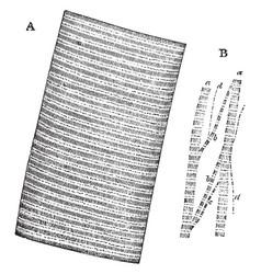 Muscular fiber vintage vector