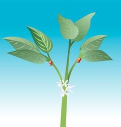 coffee plant vector image