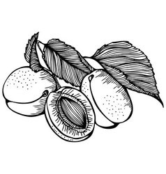 apricots monochrome drawing vector image vector image