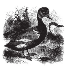 Red crested whistling duck vintage vector