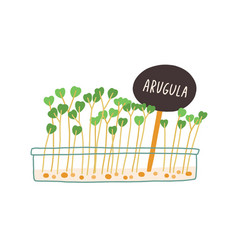 Arugula microgreens growing in container rucola vector
