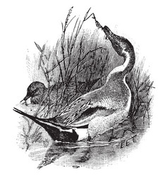 pintail vintage vector image