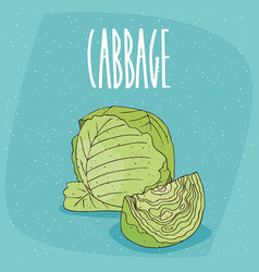 isolated ripe green cabbage vegetable vector image