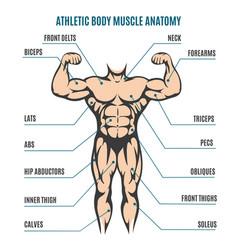athletic body man figure muscular anatomy vector image vector image