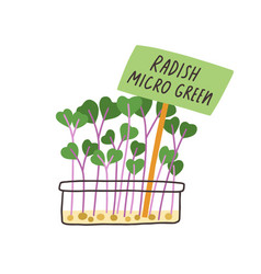 Fresh radish micro greens in container sprouts vector