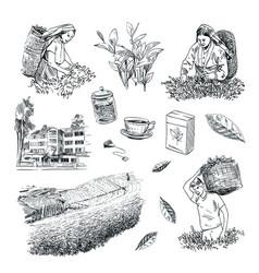 set process collecting tea leaves making tea vector image