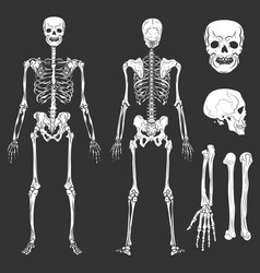 human body skeleton bones and joints vector image