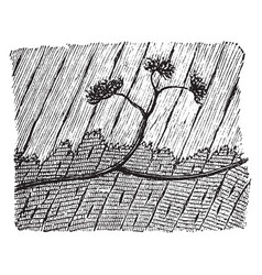 termination medullated nerve fibers vintage vector image