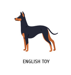 English toy terrier beautiful small dog of toy vector