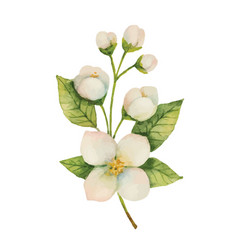 Watercolor jasmine isolated on a white background vector