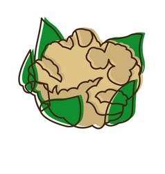 Cauliflower with leaves vegetable healthy food vector