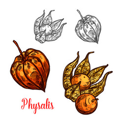 Physalis fruit or ground cherry berry sketch vector