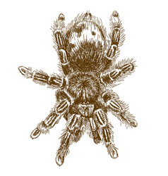 Engraving of tarantula vector