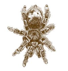 engraving tarantula vector image