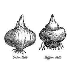 vintage engraving onion and saffron bulbs vector image