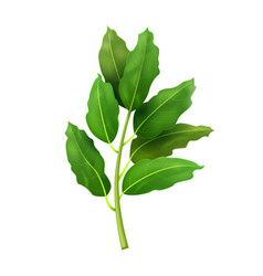 Realistic fresh bay leaf herb isolated flat vector