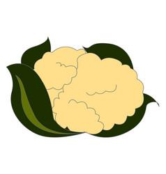 fresh cauliflower on white background vector image