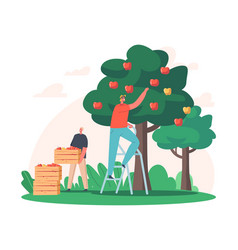 Men farmer pick apples to wood boxes male vector