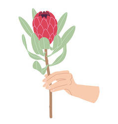 Female hand holding branch of blooming protea vector