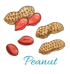 Peanut isolated sketch of fresh groundnut vector image