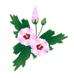 Pink hibiscus flower bud on white background vector