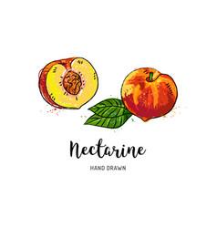 nectarine fruit drawing half nectarine with bone vector image