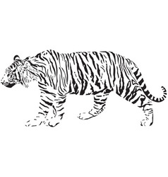 Tiger - black and white vector